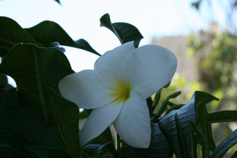 Frangipaniers et autres belles fleurs Plumer13