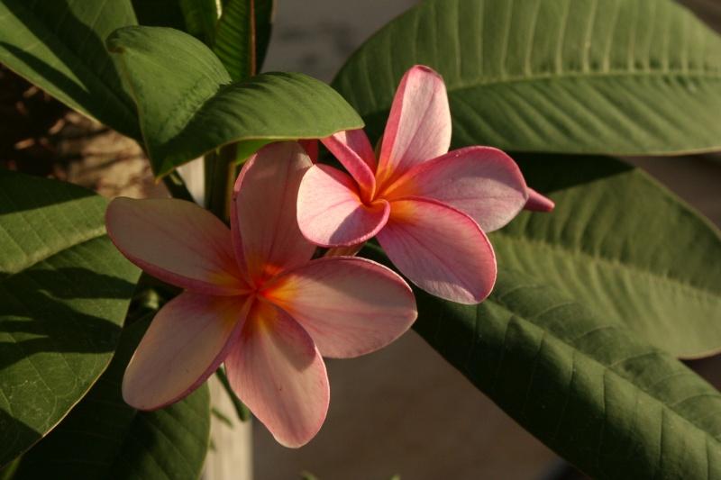 Pluméria en Fleurs Plumer14