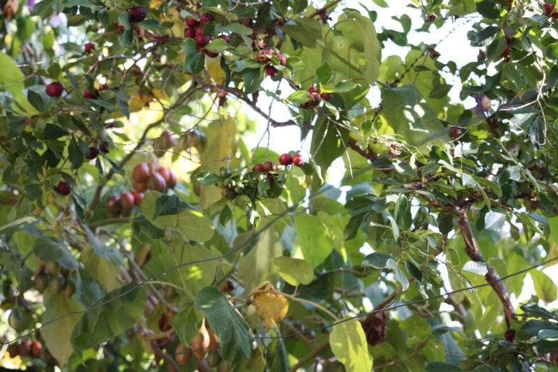 Les fruits d'automne Psidiu12