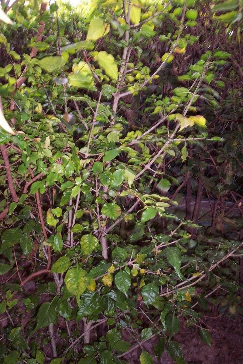 Gardenia thunbergia Rubiac10