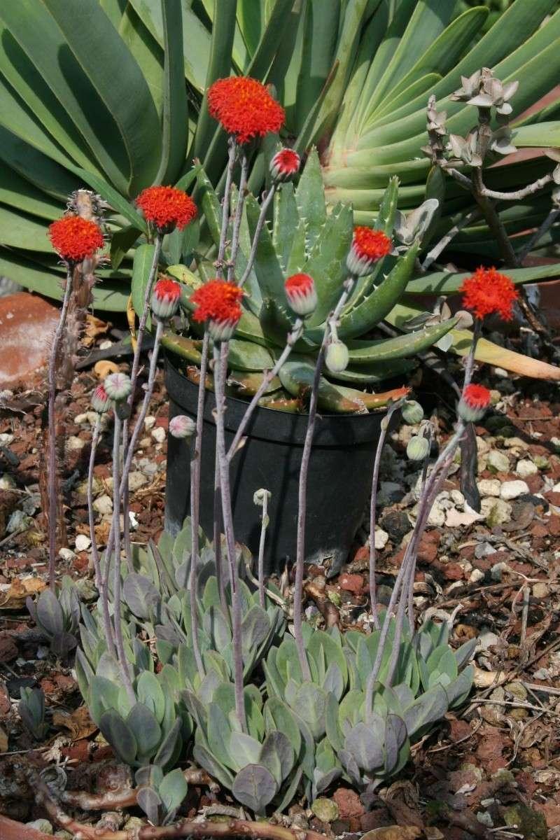 Du rouge, avec Senecio grantii  Seneci12
