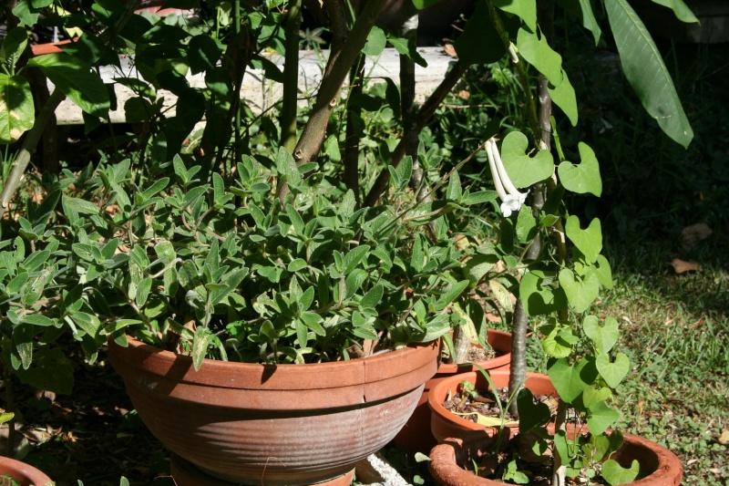 Sinningia tubiflora, en fleur depuis hier Sinnin11