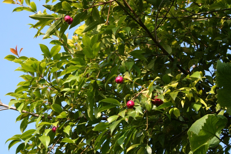 Feijoa ( Acca sellowiana ) la récolte a commencé   Syzygi12