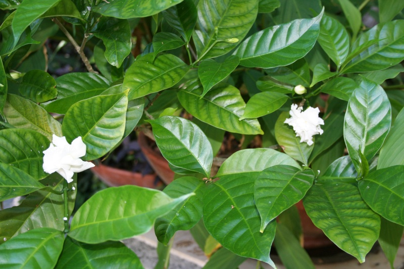 Jasmin-café, plus sympa que Tabernaemontana divaricata Tabern12