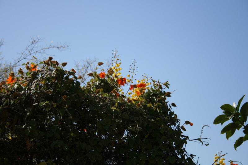 Quelques thunbergia en fleurs en ce moment Thunbe16