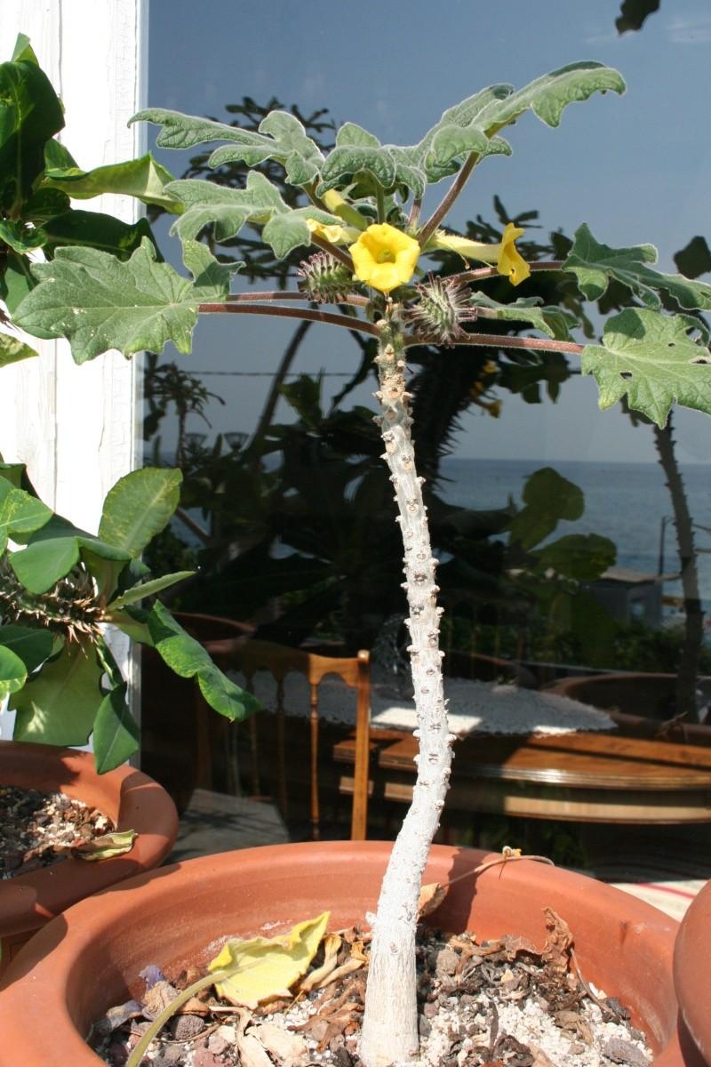Floraisons sur mon balcon, Uncarina et autres Uncari12
