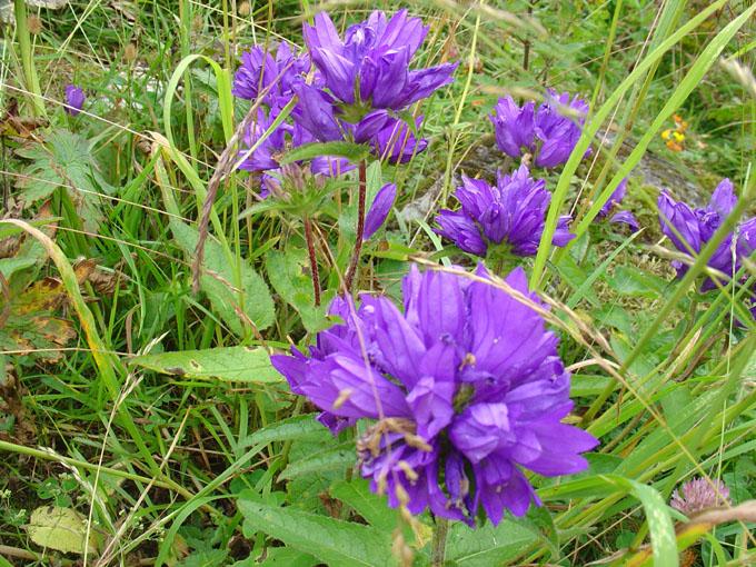 Fleurs de montagne Dsc02410