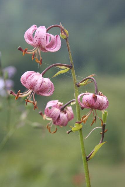 Fleurs de montagne Img_0210