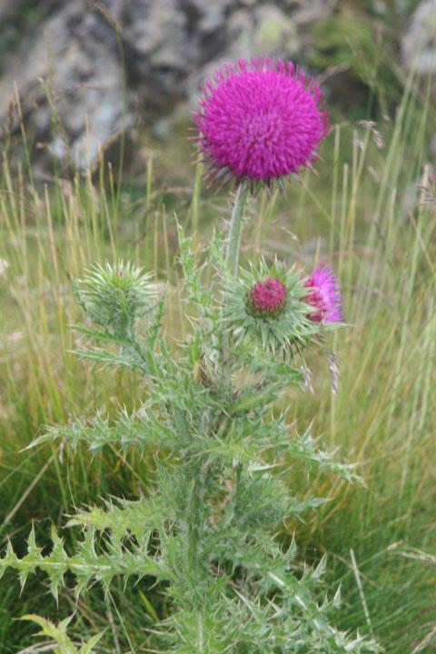 Fleurs de montagne Img_0212