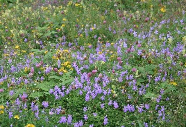 Fleurs de montagne Img_0214
