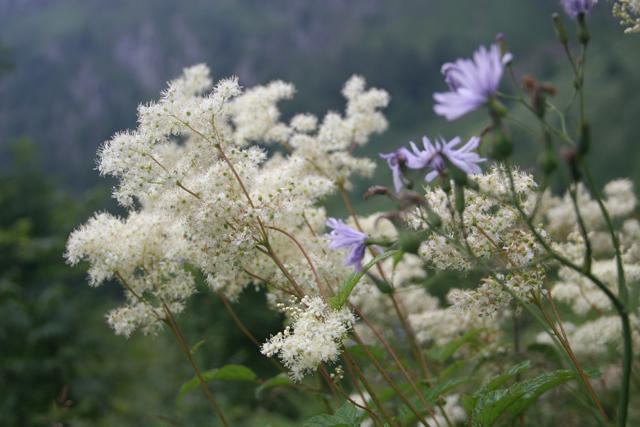 Fleurs de montagne Img_0216