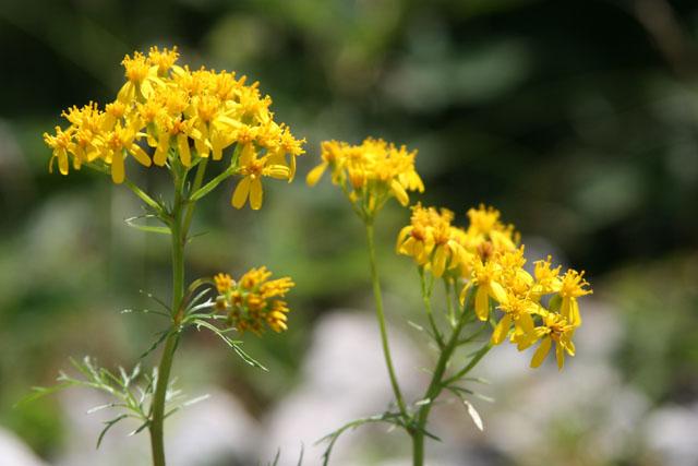 Fleurs de montagne Img_0217