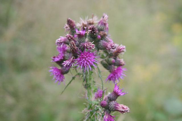 Fleurs de montagne Img_0221