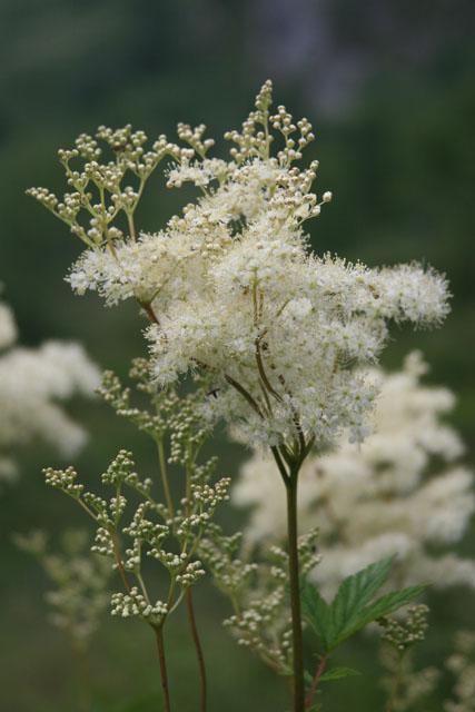 Fleurs de montagne Img_0223