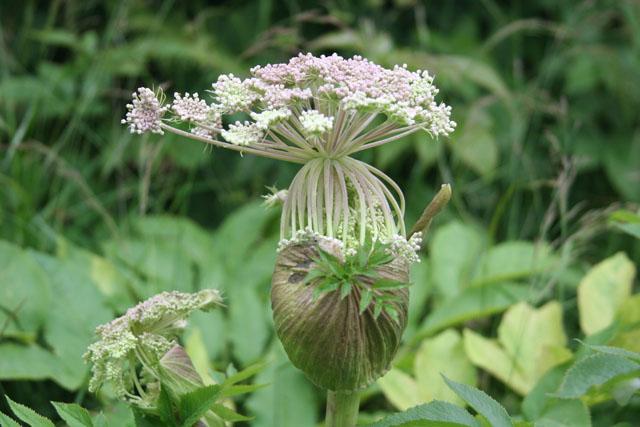 Fleurs de montagne Img_0226