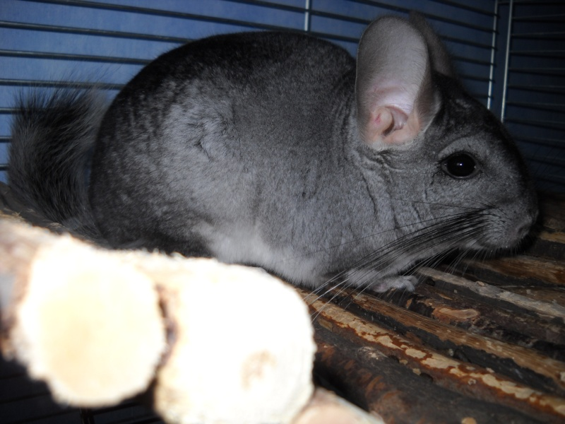 * Cashmere - male chinchilla (RP) Dscn3116