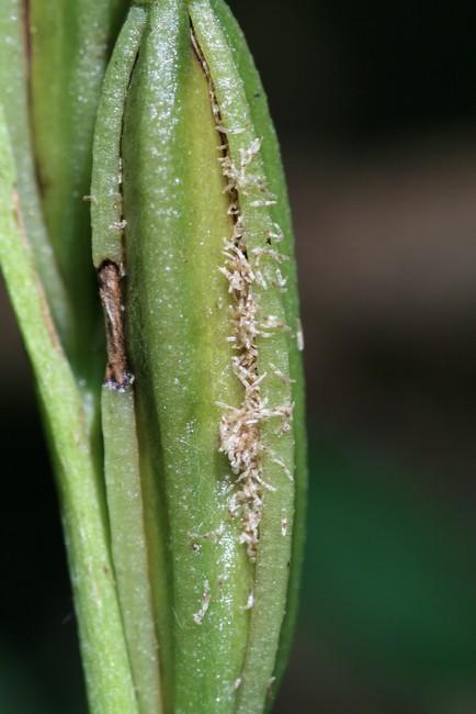 Cephalanthera longifolia(Céphalanthère à longues feuilles) Img_0110