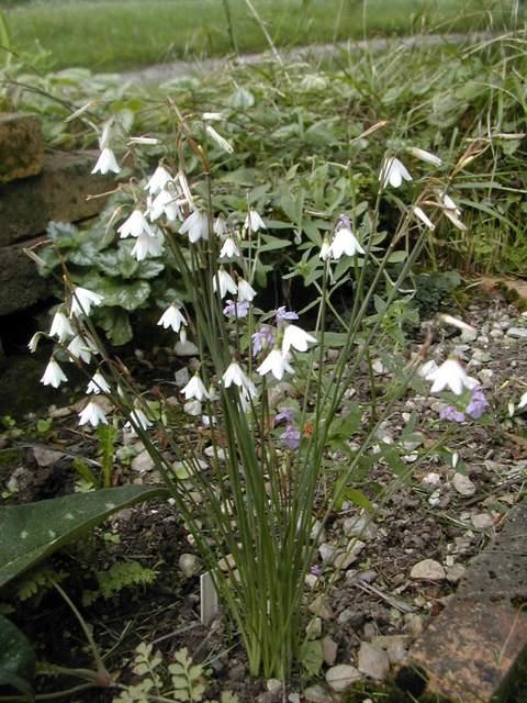 Leucojum aestivum ssp. pulchellum Dscn4010
