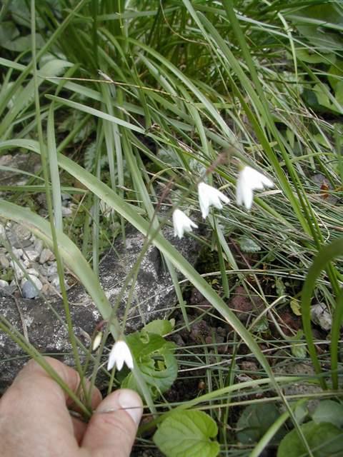 Leucojum aestivum ssp. pulchellum Dscn4011