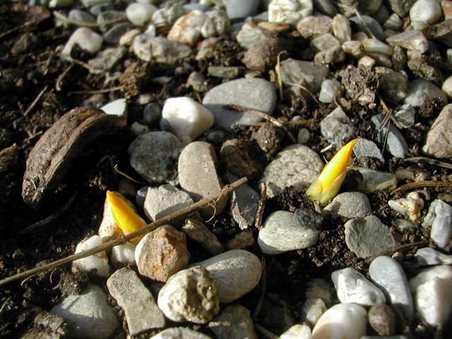 Iris réticulés 2011 Dscn4116