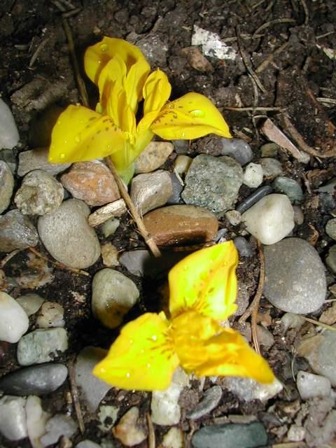 Iris réticulés 2011 Dscn4118