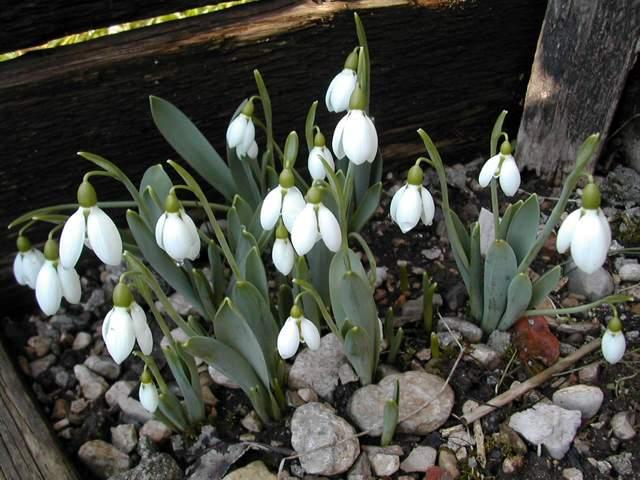 en fleur en ce moment : Galanthus caucasicus Dscn8310