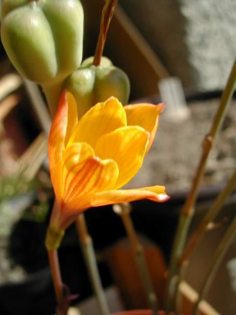 Zephyranthes clintiae Zephyr10