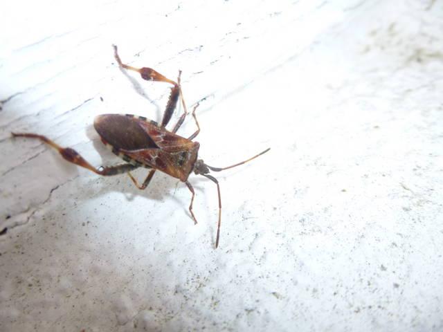 insecte. Black Bedroom Furniture Sets. Home Design Ideas