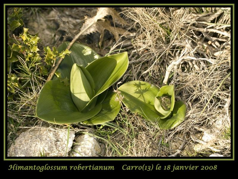 Himantoglossum robertianum (Barlia, Orchis géant ) 20080113
