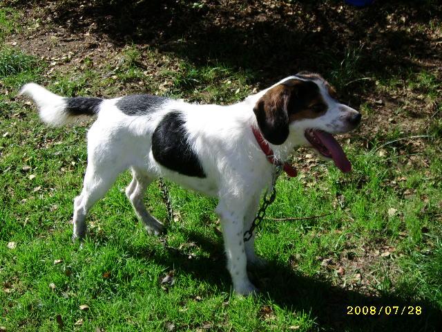 ADHOC, croisé beagle/griffon mâle, 5 ans 1/2 (56) Juil0811