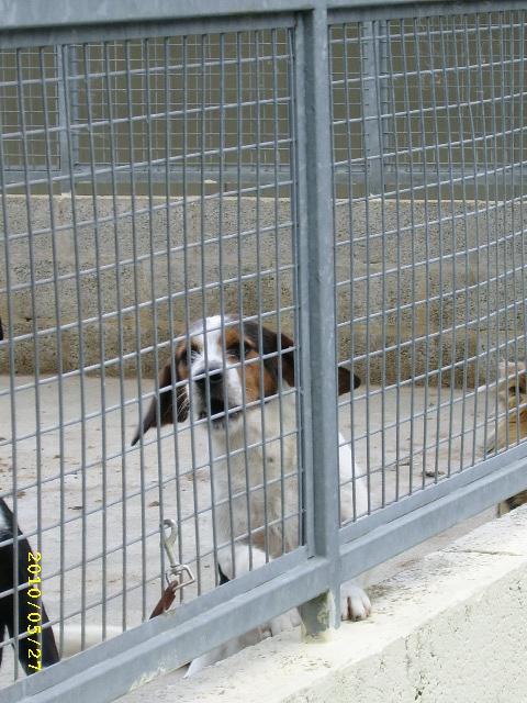 ADHOC, croisé beagle/griffon mâle, 5 ans 1/2 (56) Mai_0010