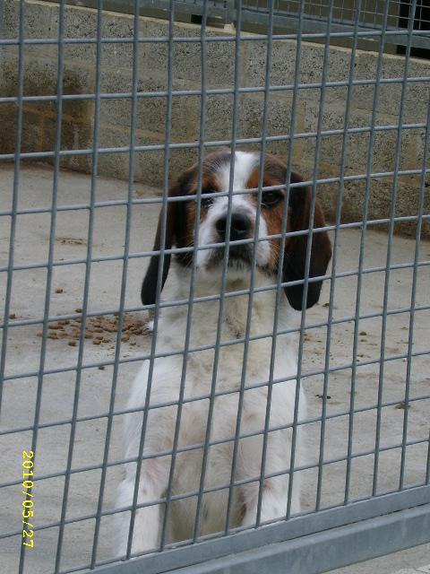 ADHOC, croisé beagle/griffon mâle, 5 ans 1/2 (56) Mai_0011