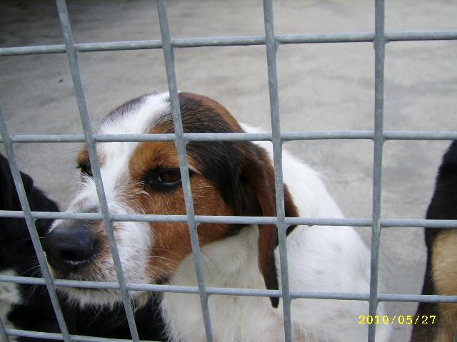 ADHOC, croisé beagle/griffon mâle, 5 ans 1/2 (56) Mai_0012