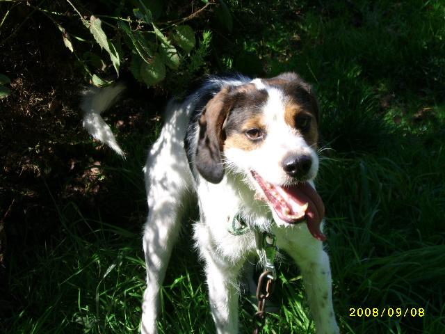 ADHOC, croisé beagle/griffon mâle, 5 ans 1/2 (56) Sept0869