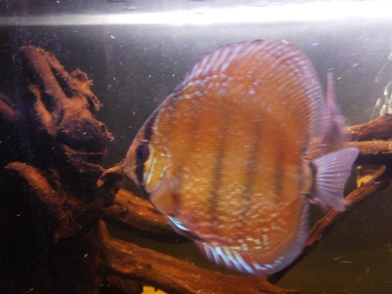 Mes poissons Discus12