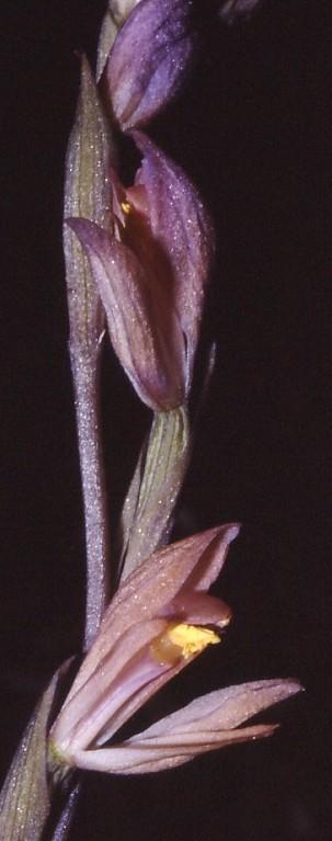 Limodorum trabutianum Trabu_11