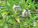 les oiseaux de nos contrées P1010511