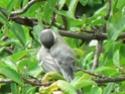 les oiseaux de nos contrées P1010512