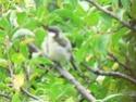 les oiseaux de nos contrées P1010516
