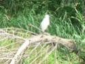 les oiseaux de nos contrées P1010517
