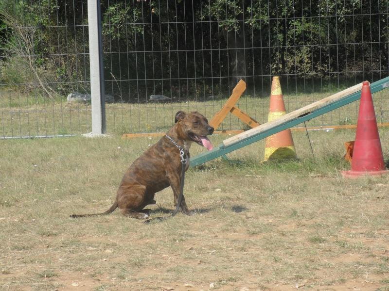 URGENT, rech. adoptant pour Cysco, staff lof mâle bringé de 5 ans (60) 1juill11