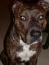 URGENT, rech. adoptant pour Cysco, staff lof mâle bringé de 5 ans (60) 5469c010