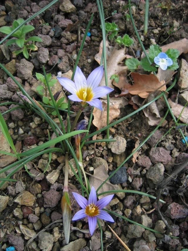 Une romulée à Floraison hivernale, du Maroc Img_8311
