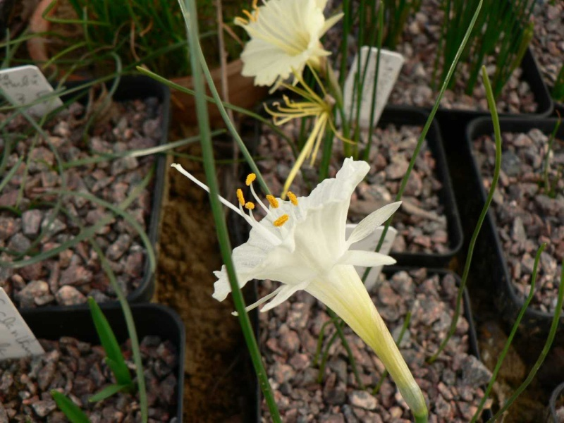 Narcissus 2008 Narcis10