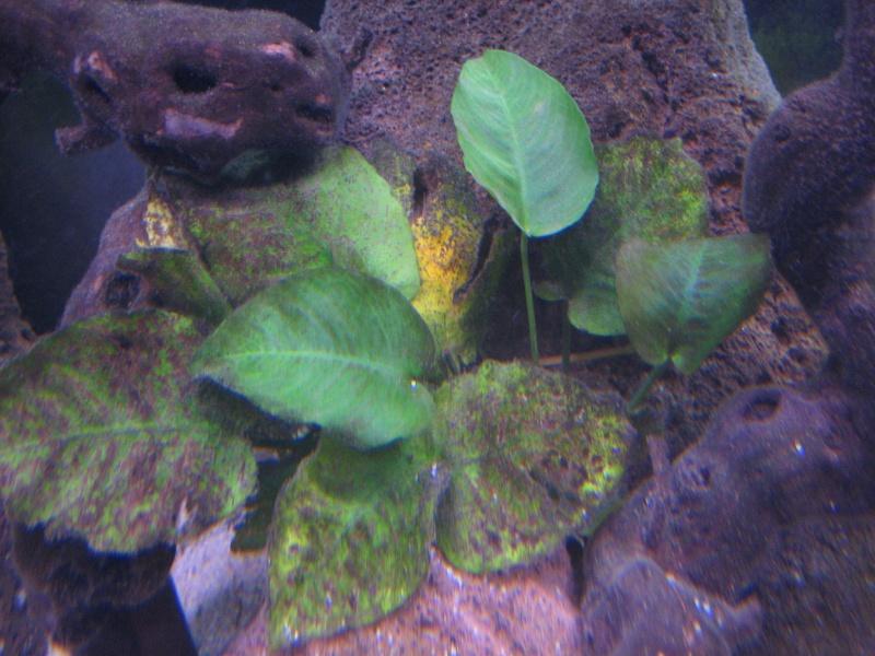 Algues et anubias Img_0311