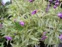 Plante panachée (Identifiée : Cheiranthus variegata) Sl271810