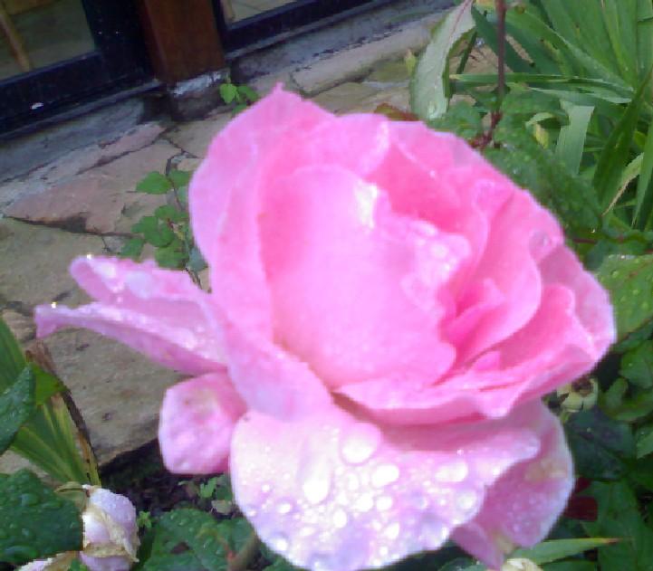 Votre plus belle rose Rose_f10