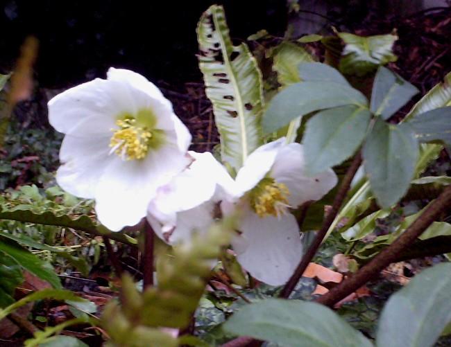 Les hellébores botaniques - Page 3 Hpim8412