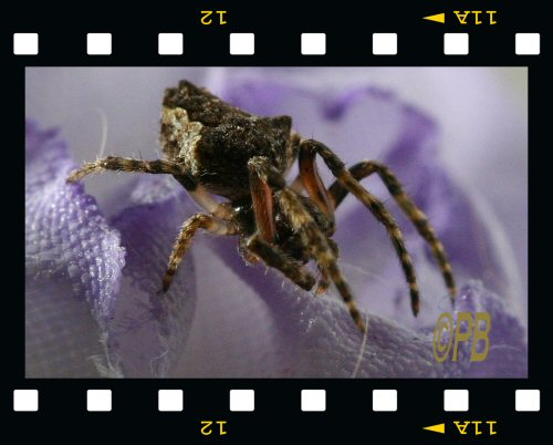 Spider - Orb web Spider11