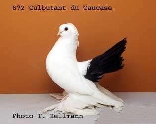 طيار شمال القوقاز Culbutant caucase 111